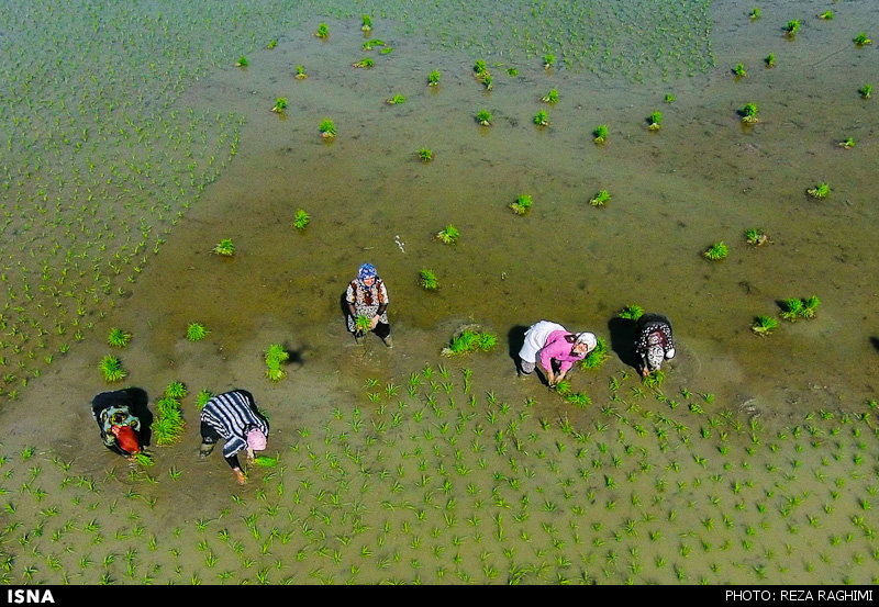 Arbeit auf einem Reisfeld am Rande der nordiranischen Stadt Ghaemshahr. Die Frauen pflanzen Setzlinge ein. Im August wird geerntet.