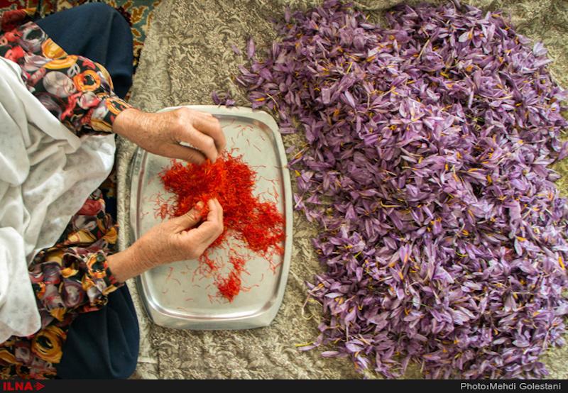 Die Safran-Pflanze ( زعفران) ist eine Krokus-Art, die im Herbst für nur wenige Wochen blüht. Aus den Narben der Safran-Blüte wird das Gewürz Safran gewonnen. Nur die aromatisch duftenden Griffel der Blüte werden getrocknet und als Gewürz verwendet. Für ein Kilogramm Safran-Gewürz benötigt man bis zu 200.000 Blüten aus einer Anbaufläche von ca. 10.000 Quadratmetern. Die Pflücker ernten per Hand täglich etwa 70 Gramm. Deshalb gilt Safran als das teuerste Gewürz.