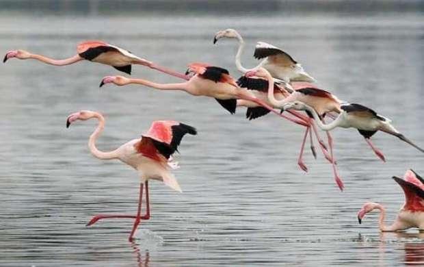 """Wassermangel in den letzten hatte dafür gesorgt, dass Flamingos bei ihrer Durchreise die Lagune """"Agh-gol"""" in der westiranischen Provinz Hamadan meiden und lieber am Urmia-See in der Provinz West-Aserbaidschan einen Zwischenstopp machen. Dieses Jahr ist es anders: Sie rasten wieder an der viereckigen Lagune, dessen Wasserpegel durch die starken Regenfälle im März und April stark angestiegen ist."""