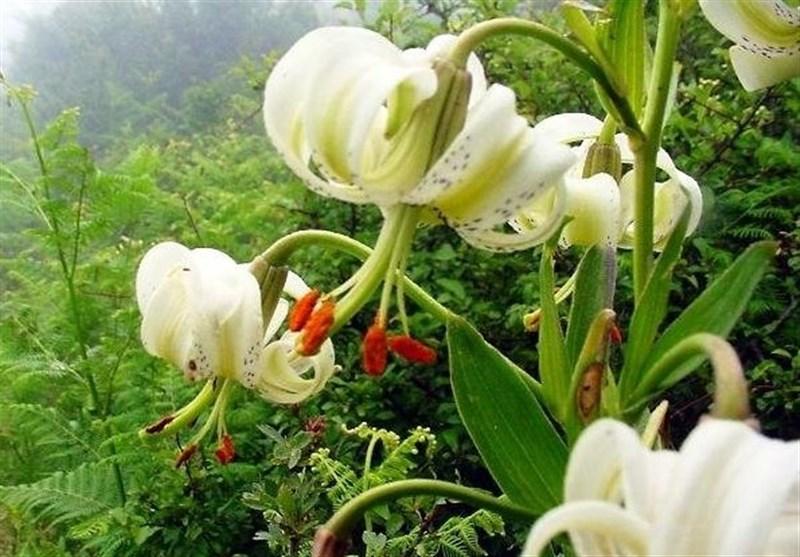 Sussan Chel-cheragh (Lilium ledebourii) ist eine seltene krautige Pflanze, die endemisch in einem kleinen Gebiet im Talysch-Gebirge (im Nordwesten des Iran), im Grenzgebiet zwischen dem Iran und Aserbaidschan sowie in Amarlu (in der nordiranischen Provinz Gilan) wächst. Sie erreicht Wuchshöhen von 50 bis 150 Zentimetern und blüht in Juni und Juli. Lilium ledebourii braucht einen trockenen, sonnigen Standpunkt und verträgt keine langanhaltende Feuchtigkeit. Da die Pflanze vom Aussterben bedroht ist, hat man dafür in Amarlu ein 0,6 ha großes Schutzgebiet geschaffen.