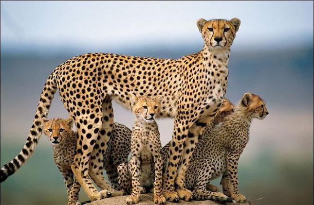 Einst war der asiatische Gepard von Zentralasien, über Vorderasien bis nach Indien verbreitet, heute findet man ihn nur noch im Iran. Aber auch dort sind diese Wildkatzen vom Aussterben bedroht. Nach langer Suche mit 12.000 Nachtsichtkameras wurden 70 Geparden, hauptsächlich in den nordöstlichen Gebieten des Iran registriert. Ein erwachsener iranischer Gepard wiegt maximal 55 Kilogramm und gehört mit bis zu 134 Zentimeter Länge zu den größeren Katzenarten. Der Gepard ist mit einer Geschwindigkeit von etwa 110 Kilometern in der Stunde das schnellste Lebewesen zu Land. Ihm fehlt allerdings die Fähigkeit zu Klettern, da er seine Krallen nicht einziehen kann. Seine Krallen berühren beim Laufen immer den Boden und werden dadurch abgewetzt. Foto: www.wildlife.ir