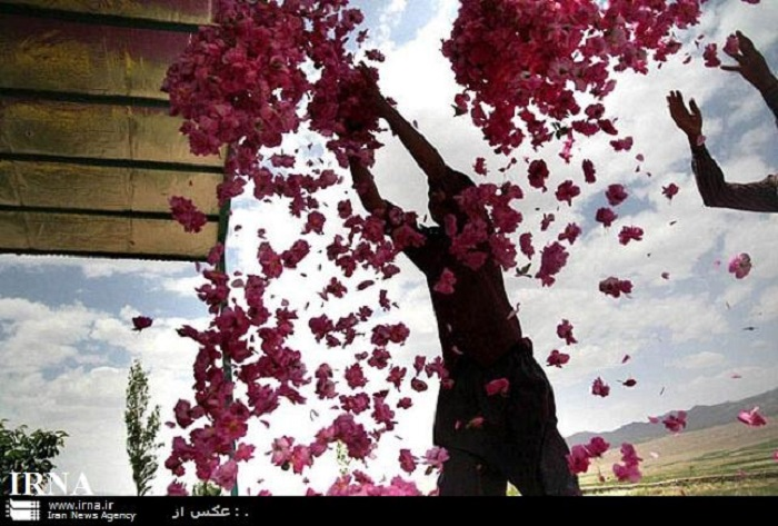 Im Mai werden an vielen Orten im Iran Rosenblätter gepflückt, um daraus Rosenöl bzw. Rosenwasser zu gewinnen. Für die Herstellung von 1 Liter des edlen Öls braucht man je nach Blütensorte bis zu 5.000 Kilogramm Rosenblätter. Das beliebteste Rosenwasser des Orients kommt aus Ghamsar (oder Qamsar), einer Stad in der zentraliranischen Provinz Isfahan. Ghamsar ist das größte Zentrum für die Rosenwasserproduktion im Nahen Osten. Die Kaaba, das zentrale Heiligtum des Islams in der saudiarabischen Stadt Mekka, wird jährlich einmal mit Rosenwasser aus Ghamsar gewaschen. Das iranische know how für die Destillation von Rosenöl erreichte Europa um 1000 n. Chr.
