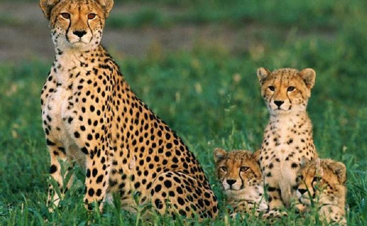 """""""Erneut wurden in dem Schutzgebiet """"Touran"""" ein Gepard mit drei Jungen gesichtet"""", teilte das Umweltamt der Stadt Shahrud am 24. Januar mit. In den vergangenen fünf Wochen seien in dem Schutzgebiet im Nordosten des Iran insgesamt elf vom Aussterben bedrohte asiatische Geparde – auch iranische Geparde genannt - registriert worden. """"Touran"""" ist mit etwa 11.000 Quadratkilometern eines der größten Schutzgebiete des Iran. Es besteht aus dem großen Touran-Nationalpark (1.200 Quadratkilometer) und dem Touran-Wildreservat (9.800 Quadratkilometer). Geparde sind Savannen- und Steppentiere und bevorzugen Gebiete mit hohem Gras. Solche Gebiete sind aber auch für Schäfer und ihre Herden attraktiv. Deshalb ist das Touran-Wildreservat zu einem beliebten Gebiet für die Hirten der Region geworden. Laut UmweltschützerInnen seien die Hunde der Schäfer eine ernste Gefahr für die Geparde und ihre Babys. Sie verlangen von der Provinzverwaltung, den Schäfern den Zugang zum Wildreservat zu verbieten und ihnen andere Gebiete zur Verfügung zu stellen."""