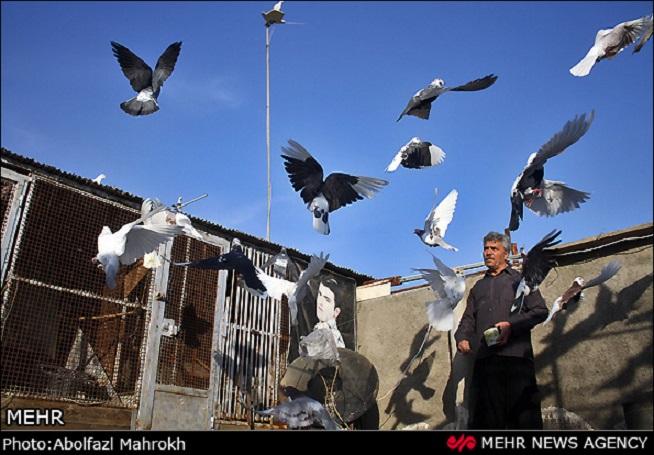 """Taubenzucht hat im Iran eine lange Tradition. Die Hobbyzüchter, die in der Regel zur Unter- und Mittelschicht gehören, trifft man überall im Land. Es werden mehrerer hundert Arten Haustauben gezüchtet, von der """"Rassentaube"""" bis hin zu Brieftaube und Flugsporttaube. Die Taubenschläge befinden sich in der Regel auf den Dächern iranischer Städte, wo die leidenschaftlichen Besitzer mehrere Stunden am Tag ihre Zeit verbringen."""