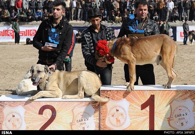 """In der zentraliranischen Stadt Isfahan fand Mitte Februar ein Hundewettbewerb mit dem Ziel, """"die besten"""" Jagd-, Wach- und Rettungshunde zu küren, statt. An dem Wettbewerb nahmen neben den Hunden von Privatzüchtern auch die Hunde des Militärs und der Justizvollzugsanstalten aus mehreren iranischen Provinzen teil. Im Islam gilt Hundespeichel als """"unrein"""", deshalb ist die Hundehaltung im Iran nur für die Jagd und die Schafzucht gestattet."""