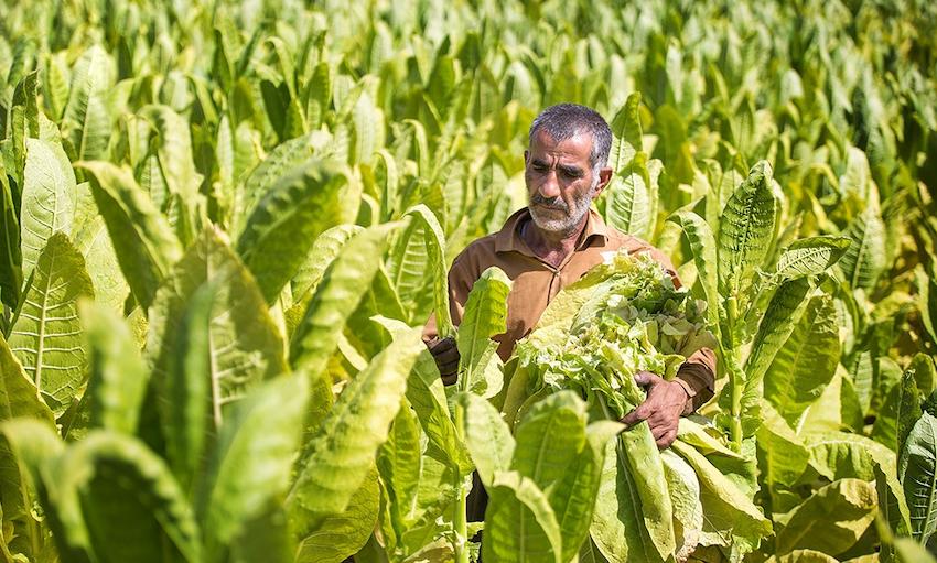 Tabakernte im Iran