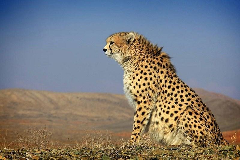 Weniger als 40 iranische Geparde, Semnan, Iranischer Gepard, persischer Gepard, Asiatischer Gepard, Raubkatze